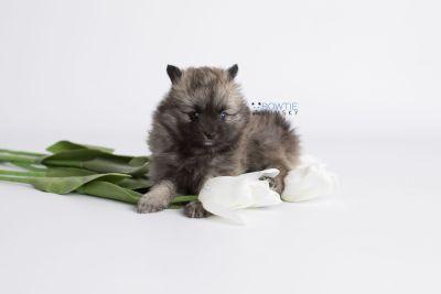 puppy142 week7 BowTiePomsky.com Bowtie Pomsky Puppy For Sale Husky Pomeranian Mini Dog Spokane WA Breeder Blue Eyes Pomskies Celebrity Puppy web3