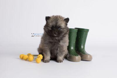 puppy142 week7 BowTiePomsky.com Bowtie Pomsky Puppy For Sale Husky Pomeranian Mini Dog Spokane WA Breeder Blue Eyes Pomskies Celebrity Puppy web6
