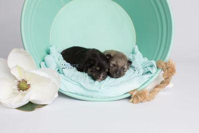 puppy143-144 week1 BowTiePomsky.com Bowtie Pomsky Puppy For Sale Husky Pomeranian Mini Dog Spokane WA Breeder Blue Eyes Pomskies Celebrity Puppy web1