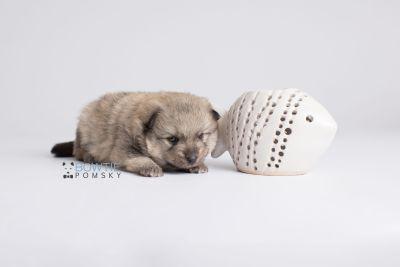 puppy143 week3 BowTiePomsky.com Bowtie Pomsky Puppy For Sale Husky Pomeranian Mini Dog Spokane WA Breeder Blue Eyes Pomskies Celebrity Puppy web4