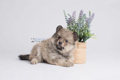 puppy143 week5 BowTiePomsky.com Bowtie Pomsky Puppy For Sale Husky Pomeranian Mini Dog Spokane WA Breeder Blue Eyes Pomskies Celebrity Puppy web5