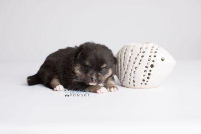 puppy144 week3 BowTiePomsky.com Bowtie Pomsky Puppy For Sale Husky Pomeranian Mini Dog Spokane WA Breeder Blue Eyes Pomskies Celebrity Puppy web4