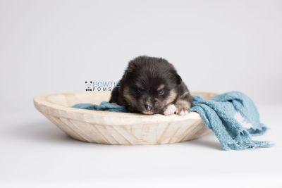 puppy144 week3 BowTiePomsky.com Bowtie Pomsky Puppy For Sale Husky Pomeranian Mini Dog Spokane WA Breeder Blue Eyes Pomskies Celebrity Puppy web5