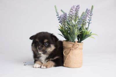 puppy144 week5 BowTiePomsky.com Bowtie Pomsky Puppy For Sale Husky Pomeranian Mini Dog Spokane WA Breeder Blue Eyes Pomskies Celebrity Puppy web2