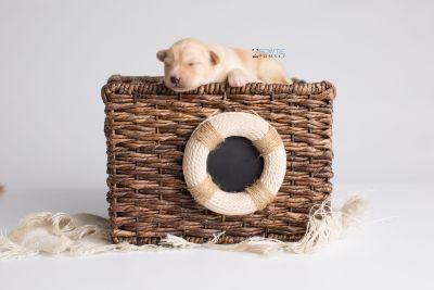 puppy145 week1 BowTiePomsky.com Bowtie Pomsky Puppy For Sale Husky Pomeranian Mini Dog Spokane WA Breeder Blue Eyes Pomskies Celebrity Puppy web5