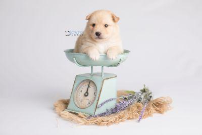 puppy145 week3 BowTiePomsky.com Bowtie Pomsky Puppy For Sale Husky Pomeranian Mini Dog Spokane WA Breeder Blue Eyes Pomskies Celebrity Puppy web2