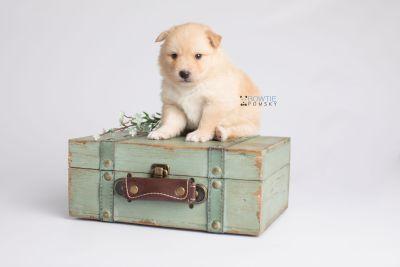 puppy145 week3 BowTiePomsky.com Bowtie Pomsky Puppy For Sale Husky Pomeranian Mini Dog Spokane WA Breeder Blue Eyes Pomskies Celebrity Puppy web4