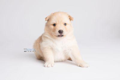 puppy145 week3 BowTiePomsky.com Bowtie Pomsky Puppy For Sale Husky Pomeranian Mini Dog Spokane WA Breeder Blue Eyes Pomskies Celebrity Puppy web6