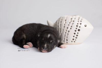puppy146 week1 BowTiePomsky.com Bowtie Pomsky Puppy For Sale Husky Pomeranian Mini Dog Spokane WA Breeder Blue Eyes Pomskies Celebrity Puppy web2