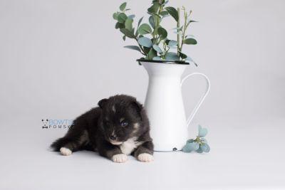 puppy146 week3 BowTiePomsky.com Bowtie Pomsky Puppy For Sale Husky Pomeranian Mini Dog Spokane WA Breeder Blue Eyes Pomskies Celebrity Puppy web1