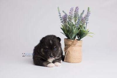 puppy146 week3 BowTiePomsky.com Bowtie Pomsky Puppy For Sale Husky Pomeranian Mini Dog Spokane WA Breeder Blue Eyes Pomskies Celebrity Puppy web4
