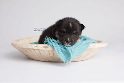 puppy146 week3 BowTiePomsky.com Bowtie Pomsky Puppy For Sale Husky Pomeranian Mini Dog Spokane WA Breeder Blue Eyes Pomskies Celebrity Puppy web5