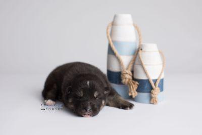 puppy147 week1 BowTiePomsky.com Bowtie Pomsky Puppy For Sale Husky Pomeranian Mini Dog Spokane WA Breeder Blue Eyes Pomskies Celebrity Puppy web3