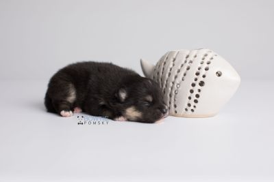 puppy148 week1 BowTiePomsky.com Bowtie Pomsky Puppy For Sale Husky Pomeranian Mini Dog Spokane WA Breeder Blue Eyes Pomskies Celebrity Puppy web3