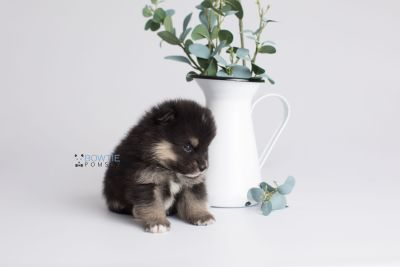 puppy148 week3 BowTiePomsky.com Bowtie Pomsky Puppy For Sale Husky Pomeranian Mini Dog Spokane WA Breeder Blue Eyes Pomskies Celebrity Puppy web1