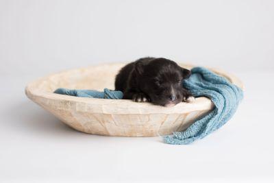 puppy149 week1 BowTiePomsky.com Bowtie Pomsky Puppy For Sale Husky Pomeranian Mini Dog Spokane WA Breeder Blue Eyes Pomskies Celebrity Puppy web11