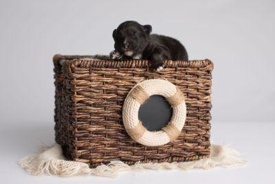 puppy149 week1 BowTiePomsky.com Bowtie Pomsky Puppy For Sale Husky Pomeranian Mini Dog Spokane WA Breeder Blue Eyes Pomskies Celebrity Puppy web3
