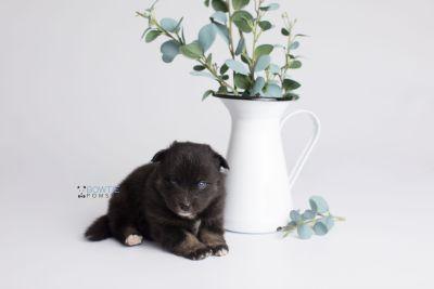 puppy149 week3 BowTiePomsky.com Bowtie Pomsky Puppy For Sale Husky Pomeranian Mini Dog Spokane WA Breeder Blue Eyes Pomskies Celebrity Puppy web1