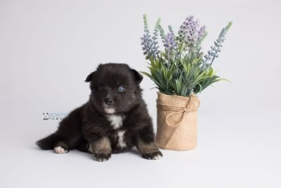 puppy149 week3 BowTiePomsky.com Bowtie Pomsky Puppy For Sale Husky Pomeranian Mini Dog Spokane WA Breeder Blue Eyes Pomskies Celebrity Puppy web3