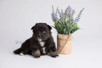 puppy149 week3 BowTiePomsky.com Bowtie Pomsky Puppy For Sale Husky Pomeranian Mini Dog Spokane WA Breeder Blue Eyes Pomskies Celebrity Puppy web3