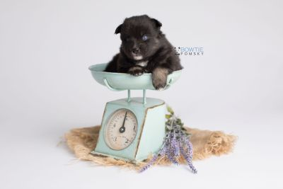 puppy149 week3 BowTiePomsky.com Bowtie Pomsky Puppy For Sale Husky Pomeranian Mini Dog Spokane WA Breeder Blue Eyes Pomskies Celebrity Puppy web5