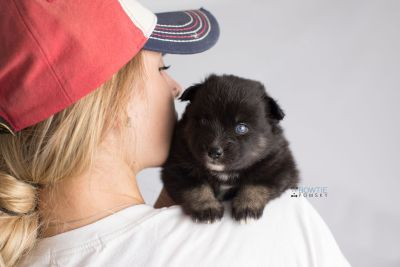puppy149 week3 BowTiePomsky.com Bowtie Pomsky Puppy For Sale Husky Pomeranian Mini Dog Spokane WA Breeder Blue Eyes Pomskies Celebrity Puppy web9