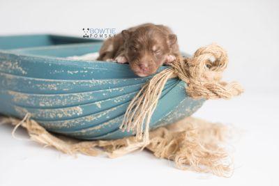 puppy150 week1 BowTiePomsky.com Bowtie Pomsky Puppy For Sale Husky Pomeranian Mini Dog Spokane WA Breeder Blue Eyes Pomskies Celebrity Puppy web1