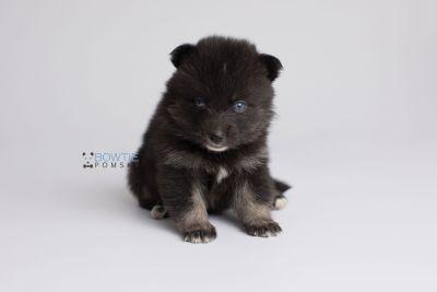 puppy150 week3 BowTiePomsky.com Bowtie Pomsky Puppy For Sale Husky Pomeranian Mini Dog Spokane WA Breeder Blue Eyes Pomskies Celebrity Puppy web6