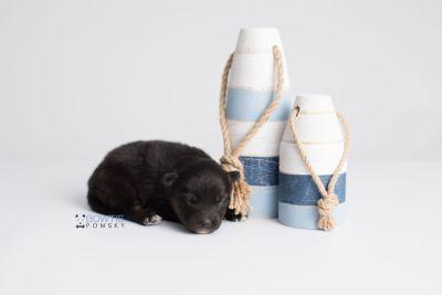 puppy152 week1 BowTiePomsky.com Bowtie Pomsky Puppy For Sale Husky Pomeranian Mini Dog Spokane WA Breeder Blue Eyes Pomskies Celebrity Puppy web3