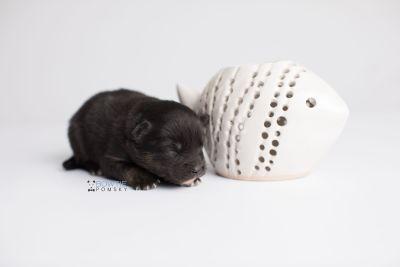puppy152 week1 BowTiePomsky.com Bowtie Pomsky Puppy For Sale Husky Pomeranian Mini Dog Spokane WA Breeder Blue Eyes Pomskies Celebrity Puppy web4