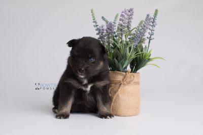 puppy152 week3 BowTiePomsky.com Bowtie Pomsky Puppy For Sale Husky Pomeranian Mini Dog Spokane WA Breeder Blue Eyes Pomskies Celebrity Puppy web2