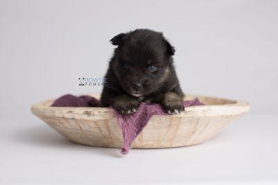 puppy152 week3 BowTiePomsky.com Bowtie Pomsky Puppy For Sale Husky Pomeranian Mini Dog Spokane WA Breeder Blue Eyes Pomskies Celebrity Puppy web5