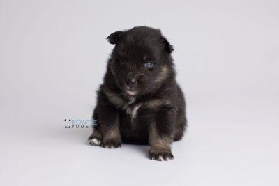 puppy152 week3 BowTiePomsky.com Bowtie Pomsky Puppy For Sale Husky Pomeranian Mini Dog Spokane WA Breeder Blue Eyes Pomskies Celebrity Puppy web6