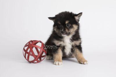 puppy144 week7 BowTiePomsky.com Bowtie Pomsky Puppy For Sale Husky Pomeranian Mini Dog Spokane WA Breeder Blue Eyes Pomskies Celebrity Puppy web5