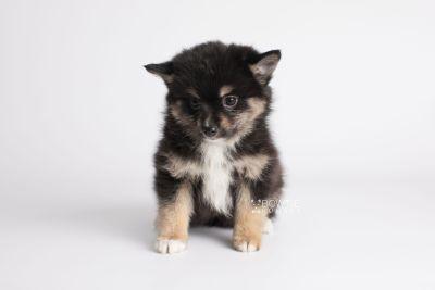 puppy144 week7 BowTiePomsky.com Bowtie Pomsky Puppy For Sale Husky Pomeranian Mini Dog Spokane WA Breeder Blue Eyes Pomskies Celebrity Puppy web6
