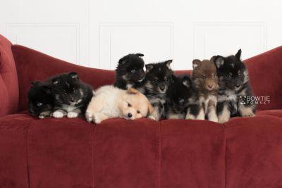 puppy145-152 week5 BowTiePomsky.com Bowtie Pomsky Puppy For Sale Husky Pomeranian Mini Dog Spokane WA Breeder Blue Eyes Pomskies Celebrity Puppy web2