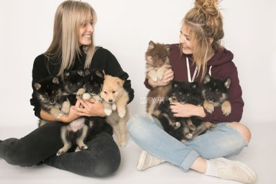 puppy145-152 week7 BowTiePomsky.com Bowtie Pomsky Puppy For Sale Husky Pomeranian Mini Dog Spokane WA Breeder Blue Eyes Pomskies Celebrity Puppy web1