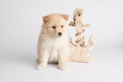 puppy145 week5 BowTiePomsky.com Bowtie Pomsky Puppy For Sale Husky Pomeranian Mini Dog Spokane WA Breeder Blue Eyes Pomskies Celebrity Puppy web4