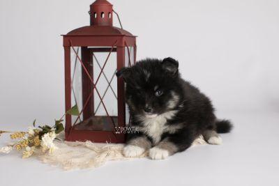 puppy146 week5 BowTiePomsky.com Bowtie Pomsky Puppy For Sale Husky Pomeranian Mini Dog Spokane WA Breeder Blue Eyes Pomskies Celebrity Puppy web1