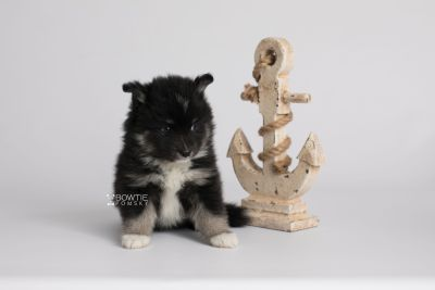 puppy146 week5 BowTiePomsky.com Bowtie Pomsky Puppy For Sale Husky Pomeranian Mini Dog Spokane WA Breeder Blue Eyes Pomskies Celebrity Puppy web5
