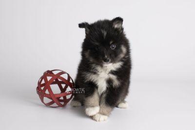 puppy146 week5 BowTiePomsky.com Bowtie Pomsky Puppy For Sale Husky Pomeranian Mini Dog Spokane WA Breeder Blue Eyes Pomskies Celebrity Puppy web6