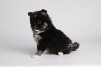 puppy146 week5 BowTiePomsky.com Bowtie Pomsky Puppy For Sale Husky Pomeranian Mini Dog Spokane WA Breeder Blue Eyes Pomskies Celebrity Puppy web8