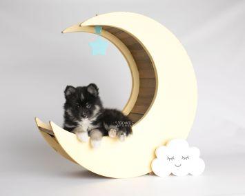 puppy146 week7 BowTiePomsky.com Bowtie Pomsky Puppy For Sale Husky Pomeranian Mini Dog Spokane WA Breeder Blue Eyes Pomskies Celebrity Puppy web3
