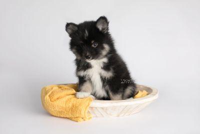 puppy146 week7 BowTiePomsky.com Bowtie Pomsky Puppy For Sale Husky Pomeranian Mini Dog Spokane WA Breeder Blue Eyes Pomskies Celebrity Puppy web4