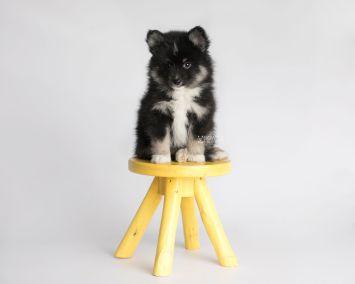 puppy146 week7 BowTiePomsky.com Bowtie Pomsky Puppy For Sale Husky Pomeranian Mini Dog Spokane WA Breeder Blue Eyes Pomskies Celebrity Puppy web7