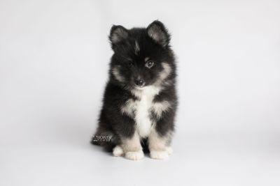 puppy146 week7 BowTiePomsky.com Bowtie Pomsky Puppy For Sale Husky Pomeranian Mini Dog Spokane WA Breeder Blue Eyes Pomskies Celebrity Puppy web8