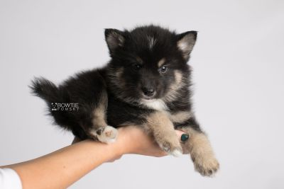 puppy147 week5 BowTiePomsky.com Bowtie Pomsky Puppy For Sale Husky Pomeranian Mini Dog Spokane WA Breeder Blue Eyes Pomskies Celebrity Puppy web8