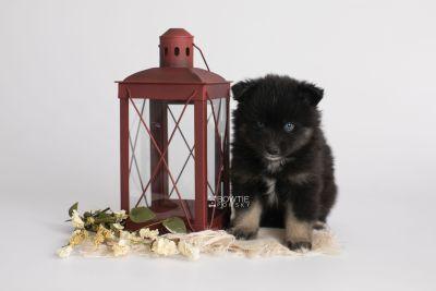 puppy148 week5 BowTiePomsky.com Bowtie Pomsky Puppy For Sale Husky Pomeranian Mini Dog Spokane WA Breeder Blue Eyes Pomskies Celebrity Puppy web2