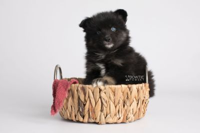 puppy148 week5 BowTiePomsky.com Bowtie Pomsky Puppy For Sale Husky Pomeranian Mini Dog Spokane WA Breeder Blue Eyes Pomskies Celebrity Puppy web4