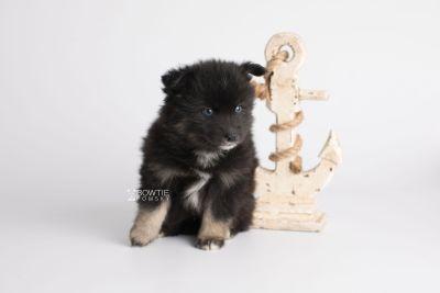 puppy148 week5 BowTiePomsky.com Bowtie Pomsky Puppy For Sale Husky Pomeranian Mini Dog Spokane WA Breeder Blue Eyes Pomskies Celebrity Puppy web7